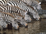 Zebras at a water hole