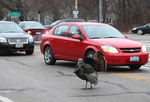 Wild Turkey in traffic
