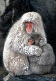 Snow monkeys huddled together