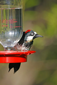 r      Adult Female Acorn Woodpecker drinking from hummingbird feeder.
