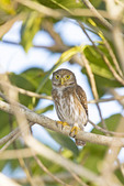 Adult Ferruginous Pygmy-Owl Glaucidium brasilianum
