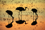 Sandhill Cranes; silhouette; sunset; Bosque Del Apache National Wildlife Refuge, New Mexico