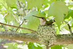 Ruby-throated Hummingbird on Nest