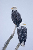 Two adult Bald Eagles on a limb in the winter snow