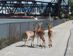 Three whitetail deer in an industrial setting in Cleveland, Ohio