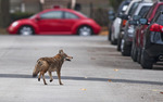 Coyote in the middle of the street