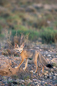 Kit Fox  Vulpes macrotis Portal, Cochise County, ARIZONA, United States August      Adult      Canidae