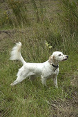 English setter pointing in the field.