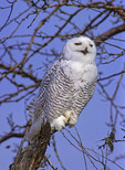 Snow Owl in a tree