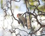 Red bellied woodpecker on a suet basket
