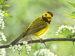 Male Hooded Warbler looking at camera