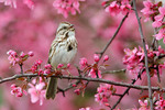 Song Sparrow Singing in Crabapple Flowers