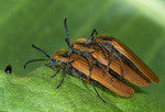 LACEWING BEETLE