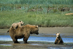 Brown bear baby on mother's back-katmai np-alaska