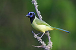 Green Jay Cyanoncorax yncas Edinburg, Texas, United States 28 March      Adult      Corvidae