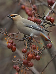 BOHEMIAN WAXWING ON A TREE BRANCH WITH BERRIES