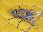 CALLIPHORID FLY Pollenia rudis