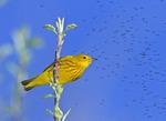 Male Yellow WWarbler