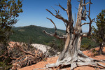 Bristlecone pine tree in Utah