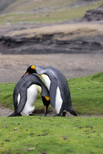 King Penguin courtship behavior, Falkland Islands