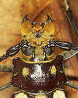 Close up of a Longhorn Beetle