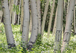 Grove of large Aspen trees in Utah