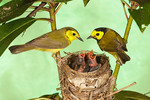 Hooded Warblers at Nest