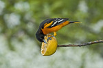 Baltimore Oriole feeding on an orange