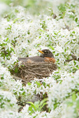 American Robin on Nest in Crabapple Tree