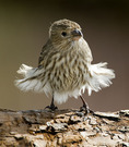 HOUSE FINCH shaking its feathers