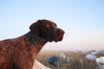 Short haired German pointer hunting dog in the field