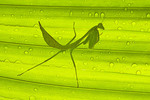 Mantis underneath palm fron, protected from rain.