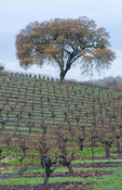 Sonoma Valley California grapes farming in fall wine winery vineyards Napa Valley near Kenwood CA