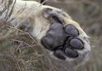 Lion, Loewe, Panthera leo, Masai Mara Wildlife Reservation Kenya, Kenia, Africa