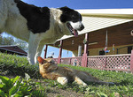 Border Collie and farm cat, Webster County, West Virginia, USA