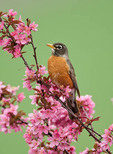 American Robin in Crabapple Flowers