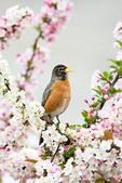 American Robin Singing in Crabapple Tree