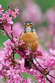 American Robin Singing in Crabapple Tree
