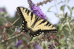 Swallowtail on a butterfly bush