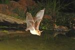Adult Pallid Bat in flight