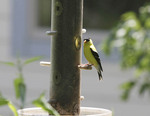 American Goldfinch at a thistle feeder