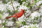 Northern Cardinal in Crabapple
