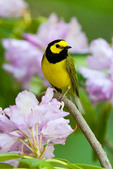 Hooded Warbler in Rhododendron