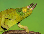 Jackson's chameleon (Trioceros jacksonii )