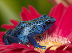 """Blue Poison dart frog (Dendrobates tinctorius """"azureus"""")"""