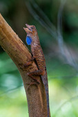 South America, Peruvian Amazon, Reptiles, Anole (Anolis), Blue-lipped forest anole (Anolis bombiceps)