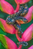 outh America, Peruvian Amazon, Snakes, Rainbow boa (Epicrates cenchria), on heliconia