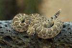 Mojave rattlesnake coiled