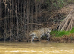 Jaguar stalking near the water