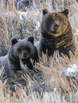 Brown bears in early morning frost